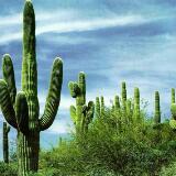 cactusnah
