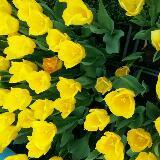 tulipflowers