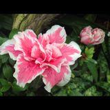 daisy_love