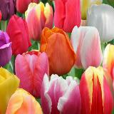 tulipslover