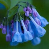 bluebell_spring