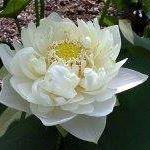 silver.lotus