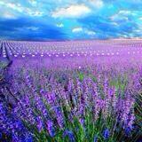 lavender_08