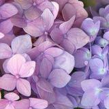 lavenderlaurels