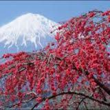 cherry.blossom