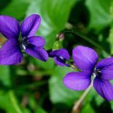 violet99