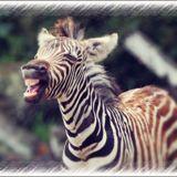 zebramaid