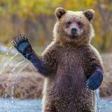 hello_bear