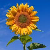 loves.sunflower
