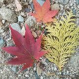 maple_leaves