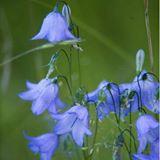bluebell_twinkle