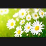 daisy24-