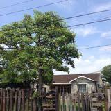 hamjimtree