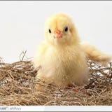 chickiechick