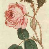 vintage.rose