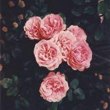 wine.roses