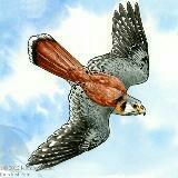 peregrine.falcon