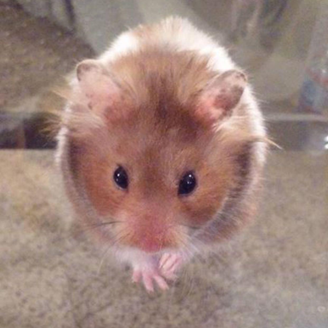 full_hamster