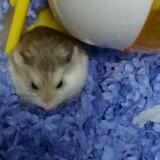 hamster.qveen