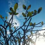 silver.tree