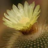 cactiflower