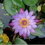 lotus.phone
