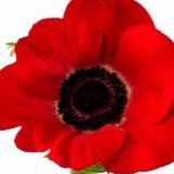 poppysparadise