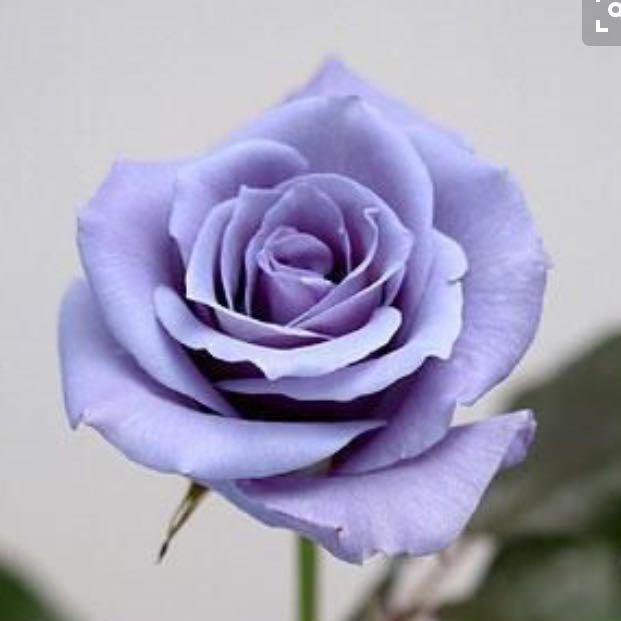 rose_ch