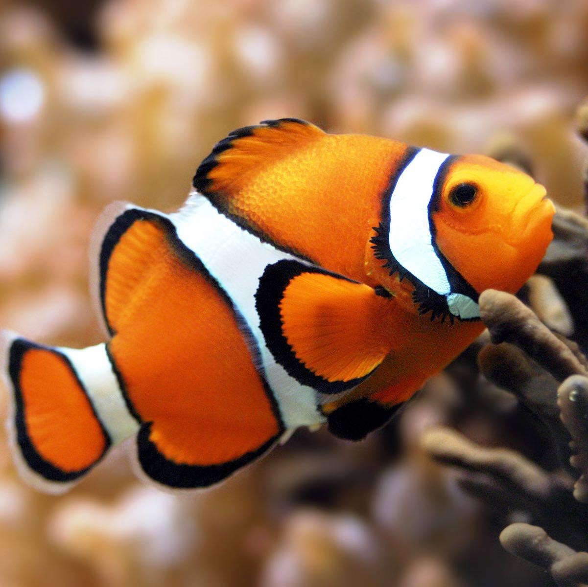 aquaticus