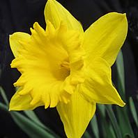 yellowdaffodil