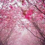 pinkoceanneko