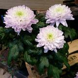 wisteriablossoms