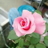 lotusmile