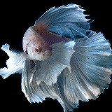 bettafish