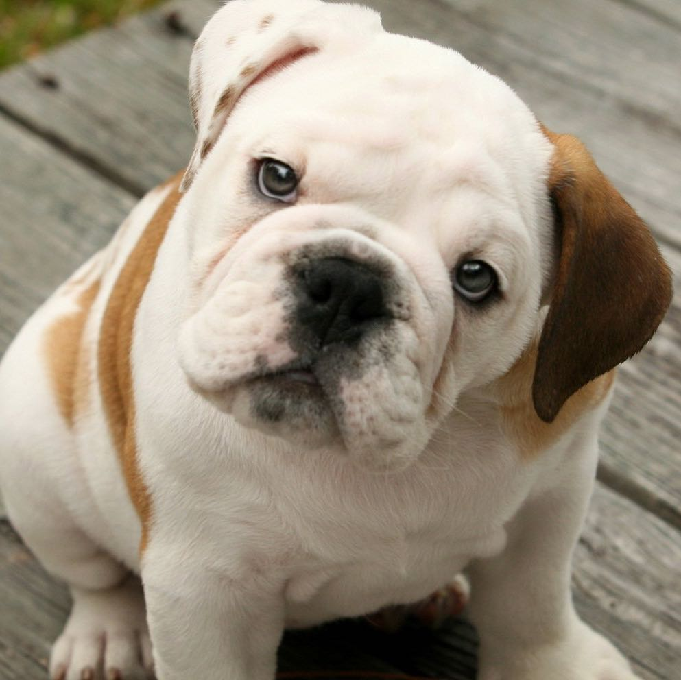 beautydog