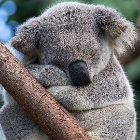 koalahug
