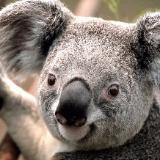 koala2016