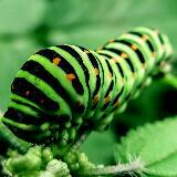 raw_caterpillar