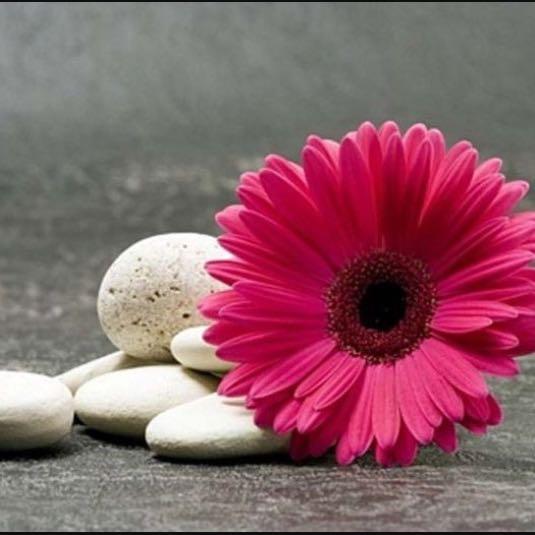 pink_gebera