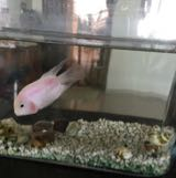 pinkfish123