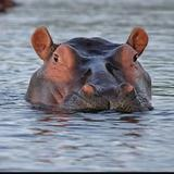 floating_hippo