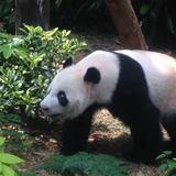 cutie.panda