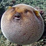 pufferfishball