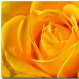 yellowrosey