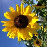 sunflowermdv