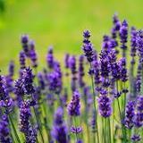 lavenderyfields