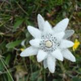 edelweiss.white