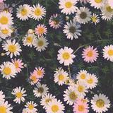 daisiesvee