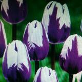 tulip200905