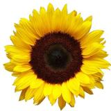 brightsunflower4